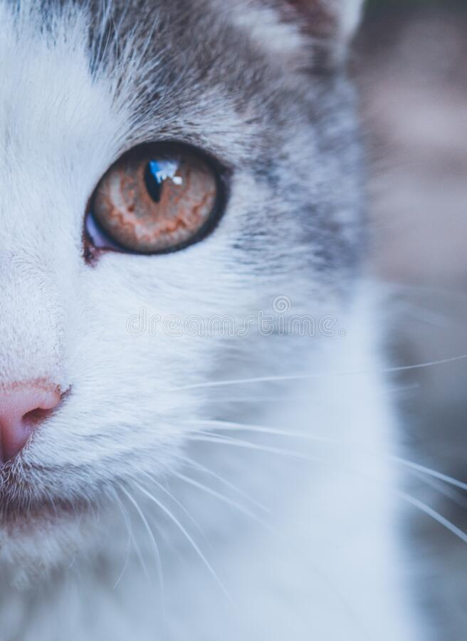 Cat eye close up. Closeup of cat half face. partial face of a white and grey cat in macro close up detail with fur and whiskers and a pink nose royalty free stock image