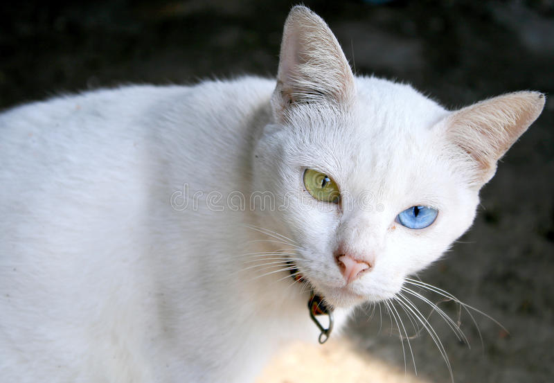 Cat Eye Color White imagens de stock royalty free