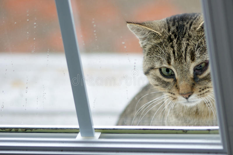Cat with Eye Infection. A forlorn-looking feral cat with an infected eye looks through a glass door to see if anyone will let him in out of the rain royalty free stock image