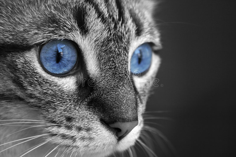 Cat Eyes. Black and white close up of cat with deep blue eyes royalty free stock photography