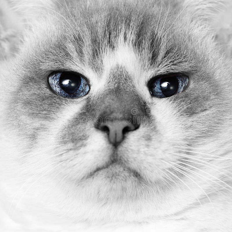 Cat Eyes. White cat with blue eyes macro square