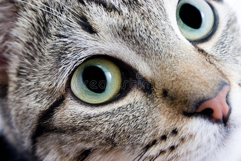 Download Cat eyes stock image. Image of cornea, head, look, domestic - 3896659