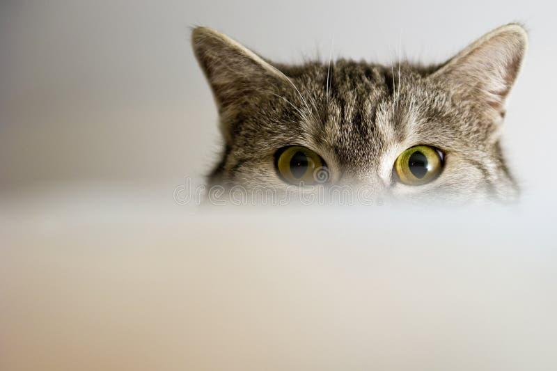Cat Eyes fotografie stock libere da diritti