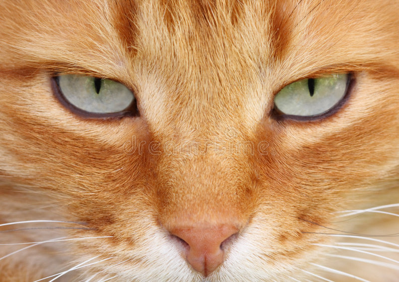 Cat eyes. Red cat with cute grey eyes close-up stock photo