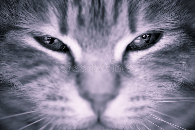 Cat eyes. A grey cat's eyes staring at the viewer