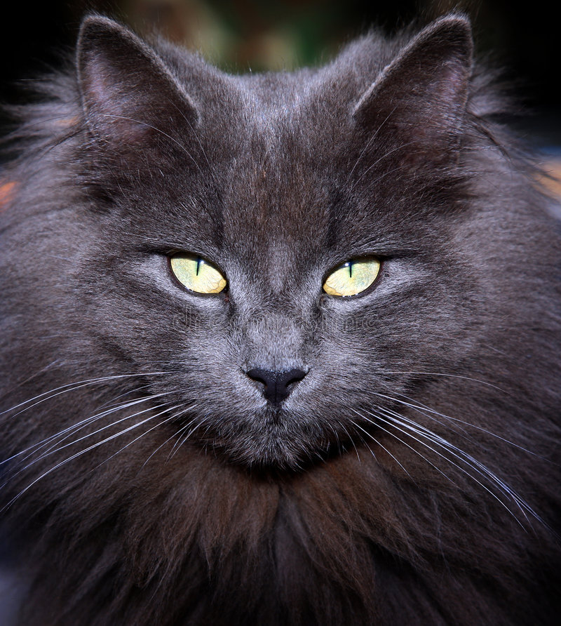 Cat eyes. Face gray cat yellow eyes staring at royalty free stock photography