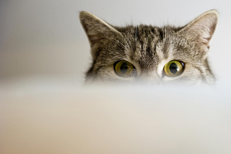 Cat Eyes. Gray cat focused eyes on the object royalty free stock photos