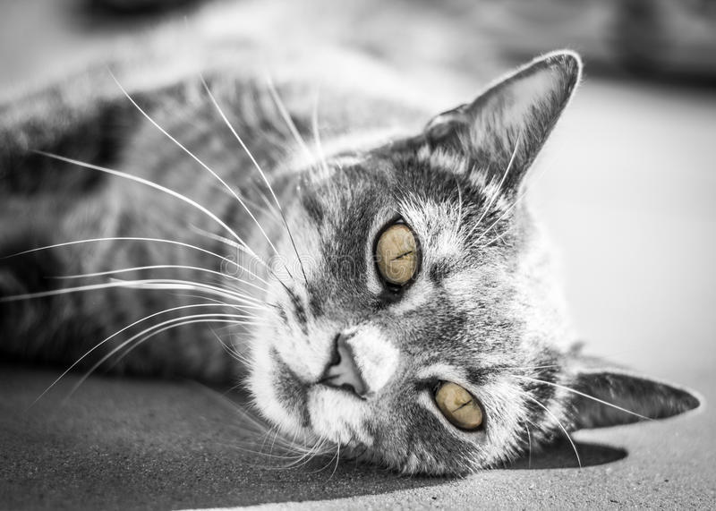 Cat eyes. Little Romeo the furry gray cat with green eyes royalty free stock photos