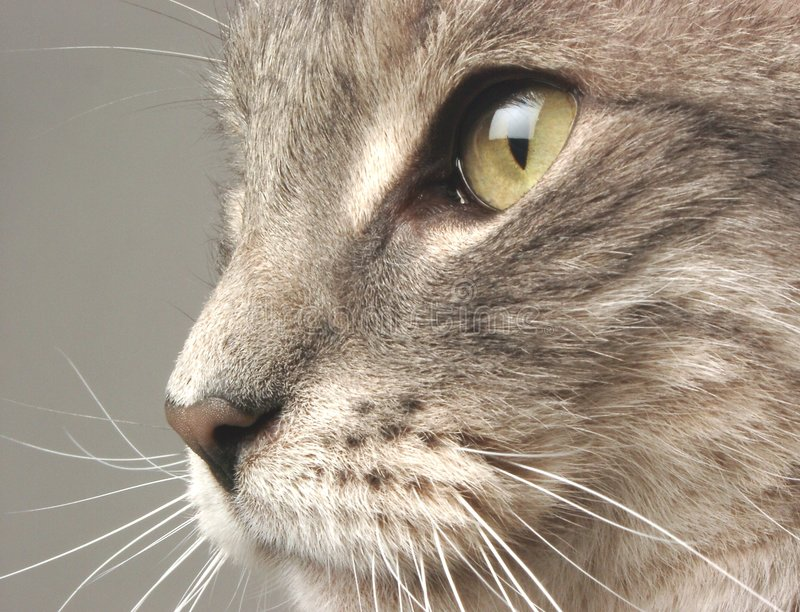 Download Cat Face stock image. Image of animal, feline, macro, mouth - 250383
