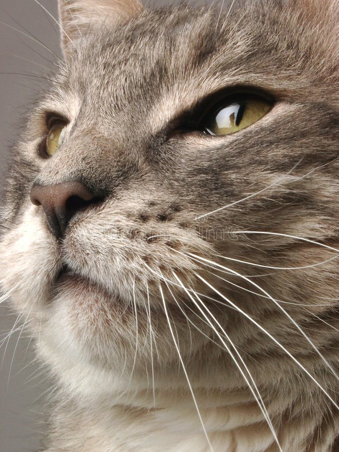 Download Cat Face stock image. Image of macro, feline, closeup, whiskers - 284471