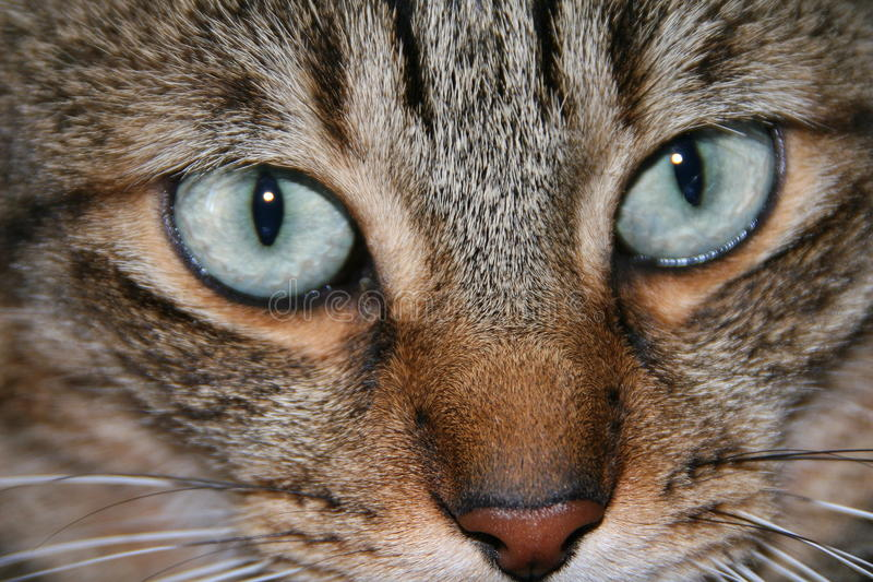 Cat Face fotografia stock libera da diritti
