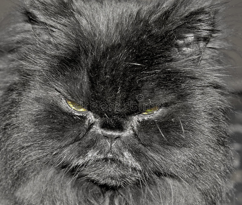 Download Cat face stock image. Image of persian, angry, expression - 8442573