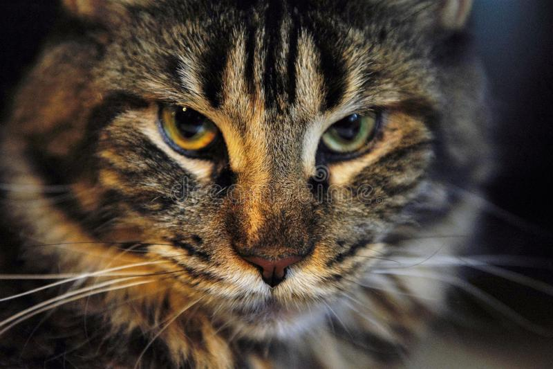Cat. Face of an angry cat gato stock photography