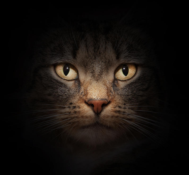 Download Cat Face With Beautiful Eyes Stock Image - Image: 23293783