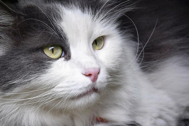 Cat face close up. Cute domestic furry cat, serious look royalty free stock photo
