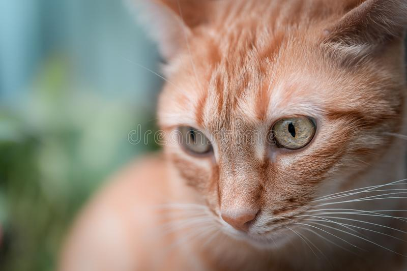 Cat face close-up with green eyes royalty free stock photo