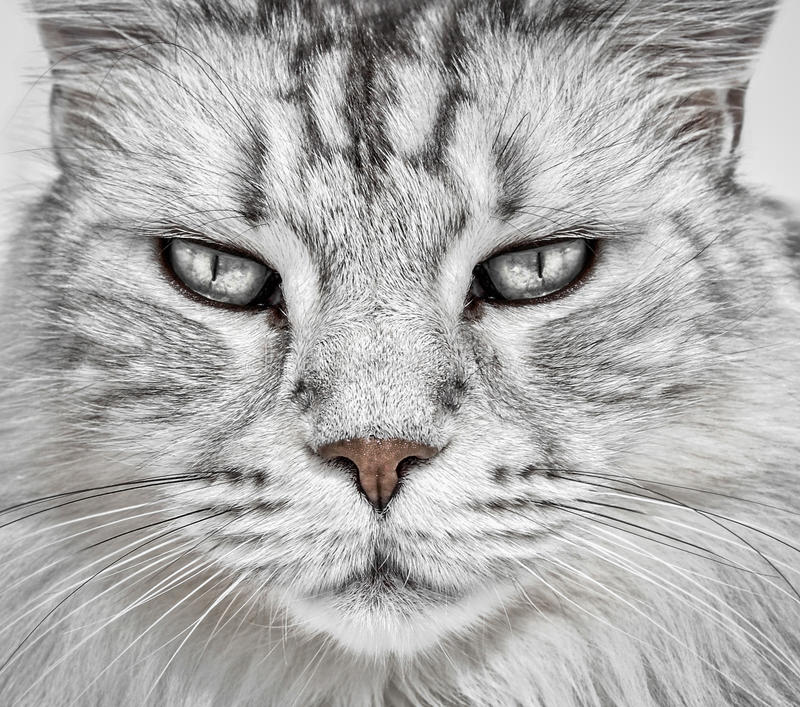 Cat face closeup. White Maine Coon domestic feline cat face closeup stock image