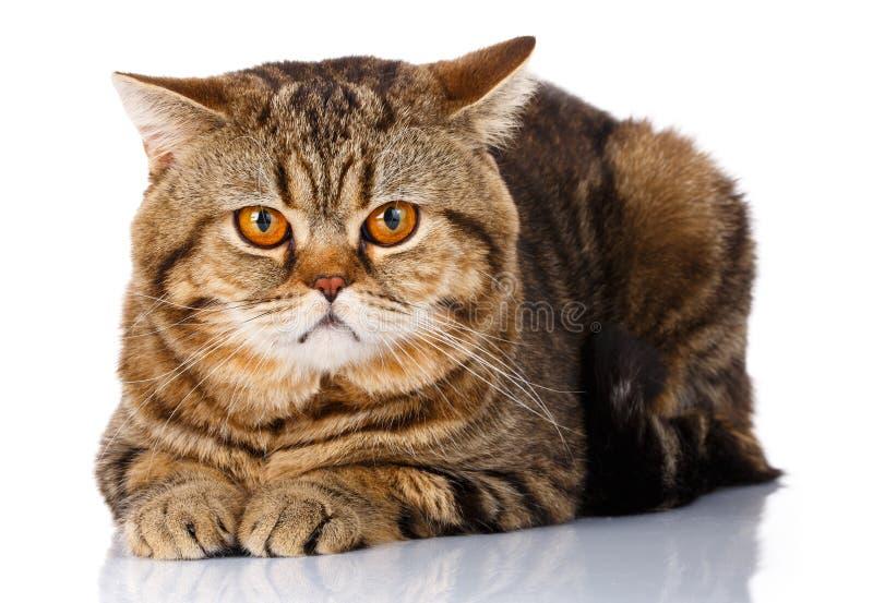 Cat Face Lying masculina reta escocesa no fundo branco isolado imagens de stock