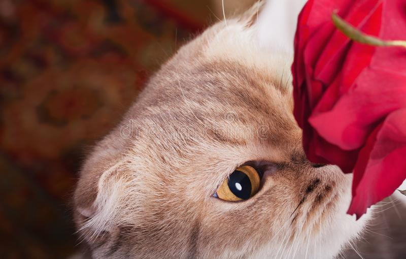 Cat face with red rose. stock photo