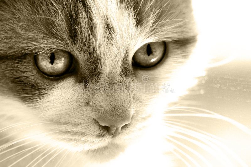 Download Cat face sepia stock image. Image of feline, hair, home - 8353075