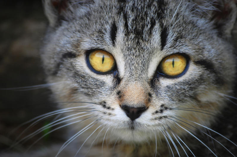 Cat face with yellow eyes. Close-up of a gray cat with beautiful yellow eyes stock images