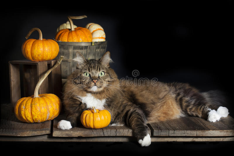 Cat with Fall Pumpkins royalty free stock photography