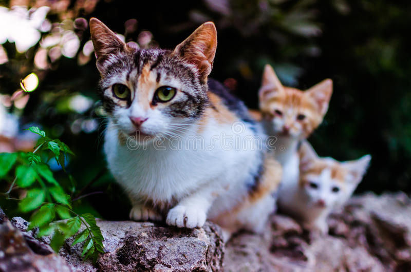 Cat Family. A beautiful protective mother alley cat outside of a small park with her cute and curious kittens during the sunset hours stock photos