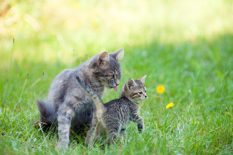 Cat family. Mother cat walking with little kitten stock image