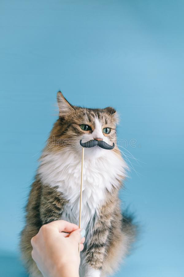 Cat and fancy dress retro mustache. A cute cat is sitting on a blue background in a mask with a mustache. Cute portrait stock images