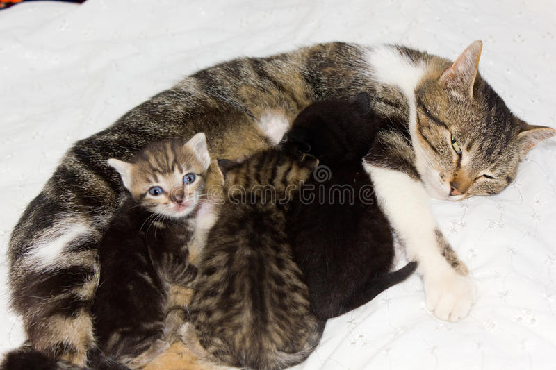 Download Cat feeding kittens stock photo. Image of earth, entertainment - 24730904
