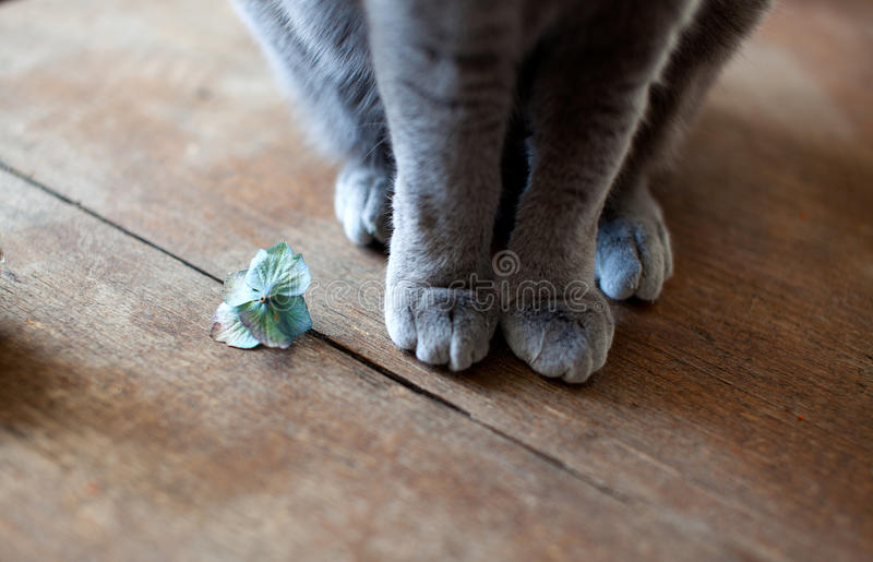 Cat Feet. Closeup of Cat feets while sitting on kitchen table royalty free stock images
