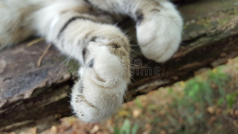 cat feet royalty free stock image