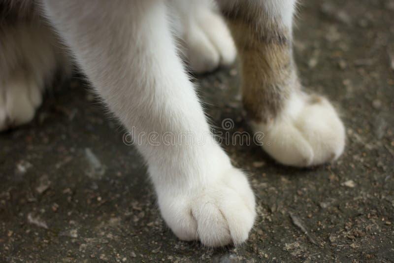 Cat feet. White soft fur on cat feet on ground stock photography