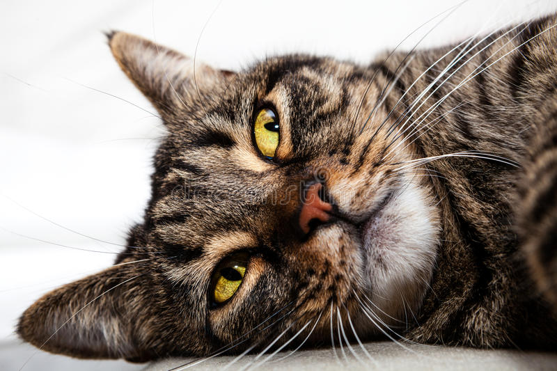 Cat feline friend relaxing. Face closeup. Cat feline friend relaxing. A beautiful pet lying on soft surface stock images