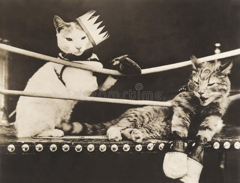 Cat Fight photos libres de droits