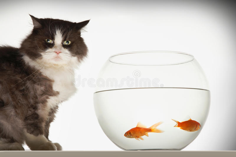 Cat By Fishbowl With Two-Goldfisch stockfotos