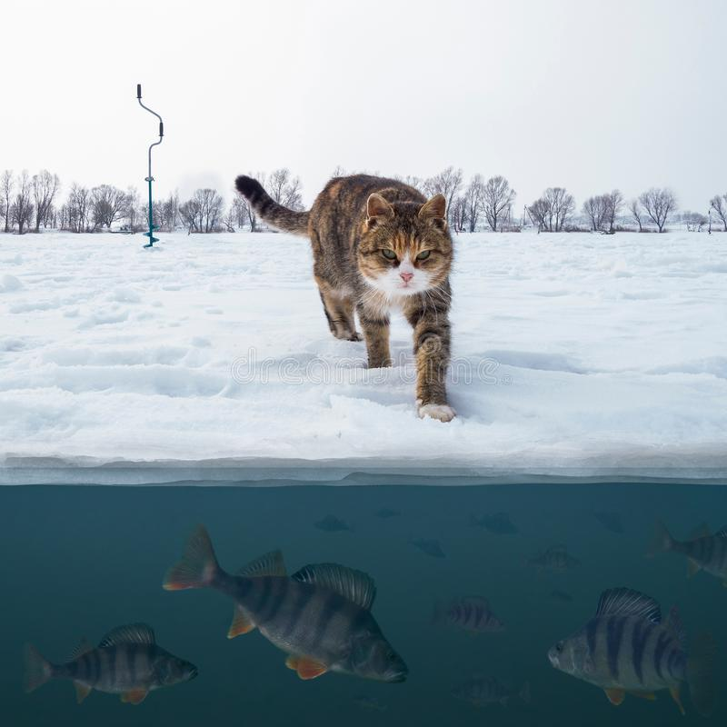 Cat fisherman on snowy ice at lake above troop of perch fish. Winter ice fishing background. stock image