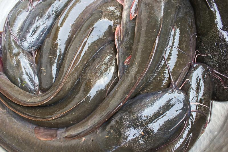 Cat Fishes vive em uma cuba fotos de stock