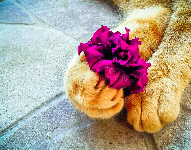 Cat with flowers in paws. Yellow cat holding purple petunia flower in paws royalty free stock photography