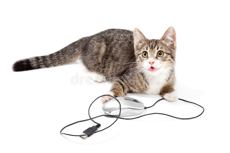 Cat focus at computer mouse. Young cat focus at computer mouse on white background stock photo