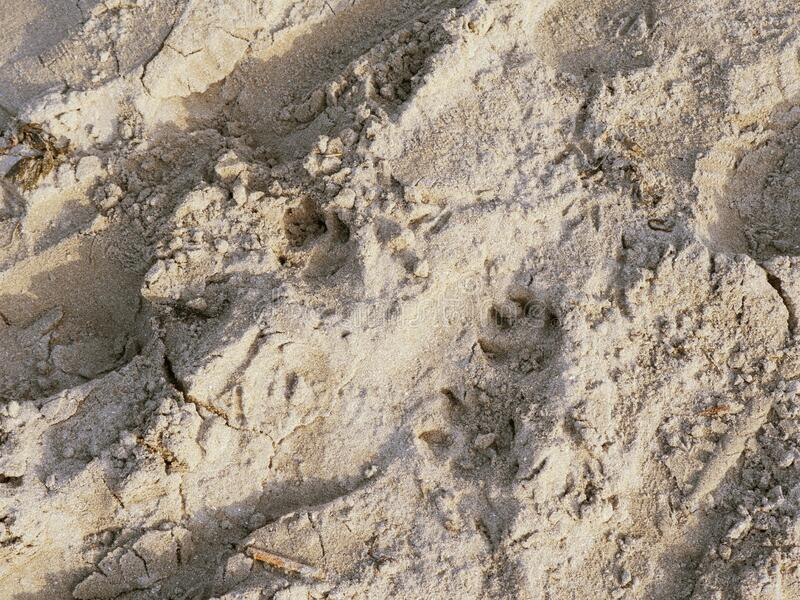 Cat footprints in a sand on a beach.  royalty free stock photo