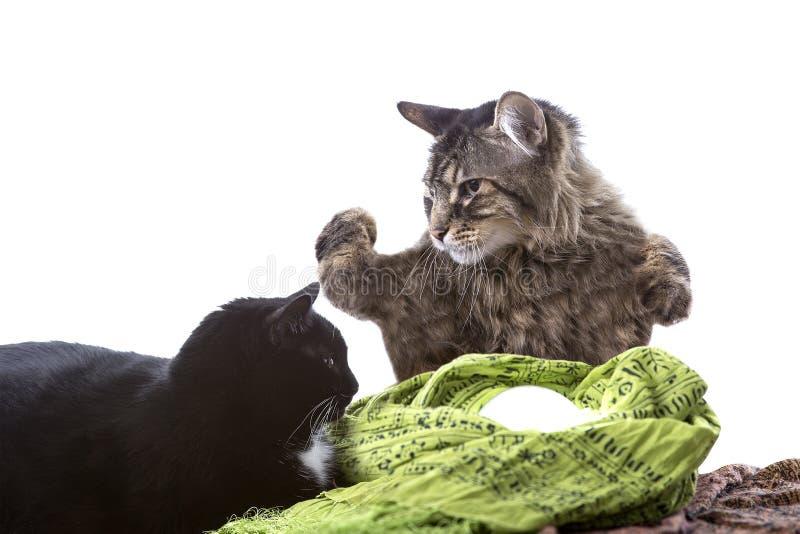 Cat Fortune Teller psichica immagine stock