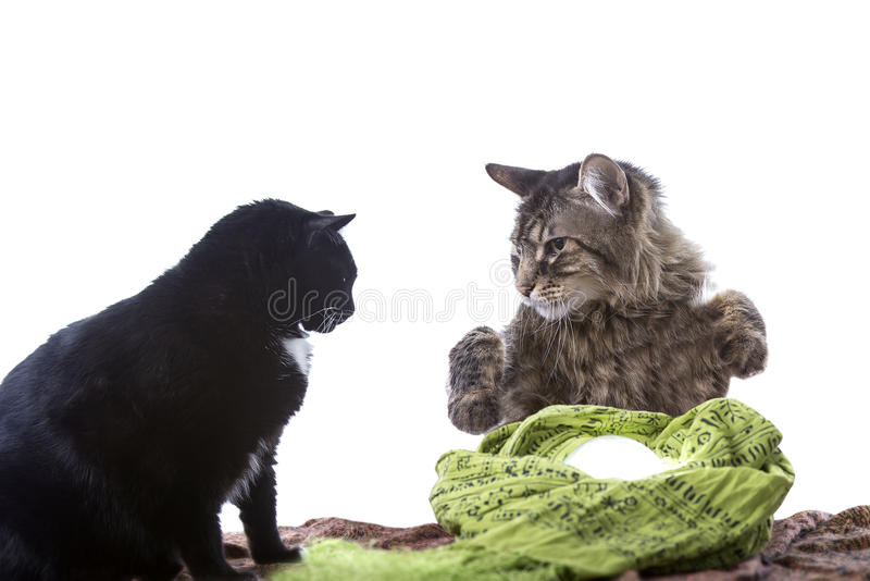 Cat Fortune Teller psichica fotografia stock libera da diritti