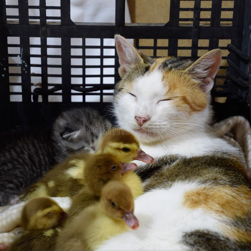 Cat in a basket with kitten and receiving musk duck ducklings. Cat foster mother for the ducklings royalty free stock images