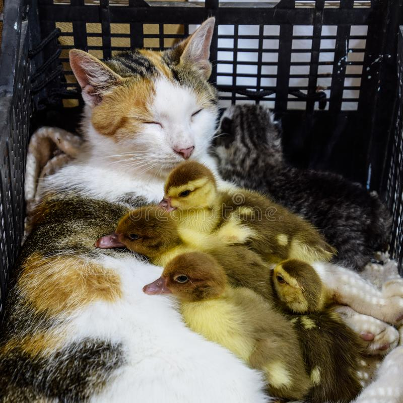 Cat in a basket with kitten and receiving musk duck ducklings. Cat foster mother for the ducklings stock images