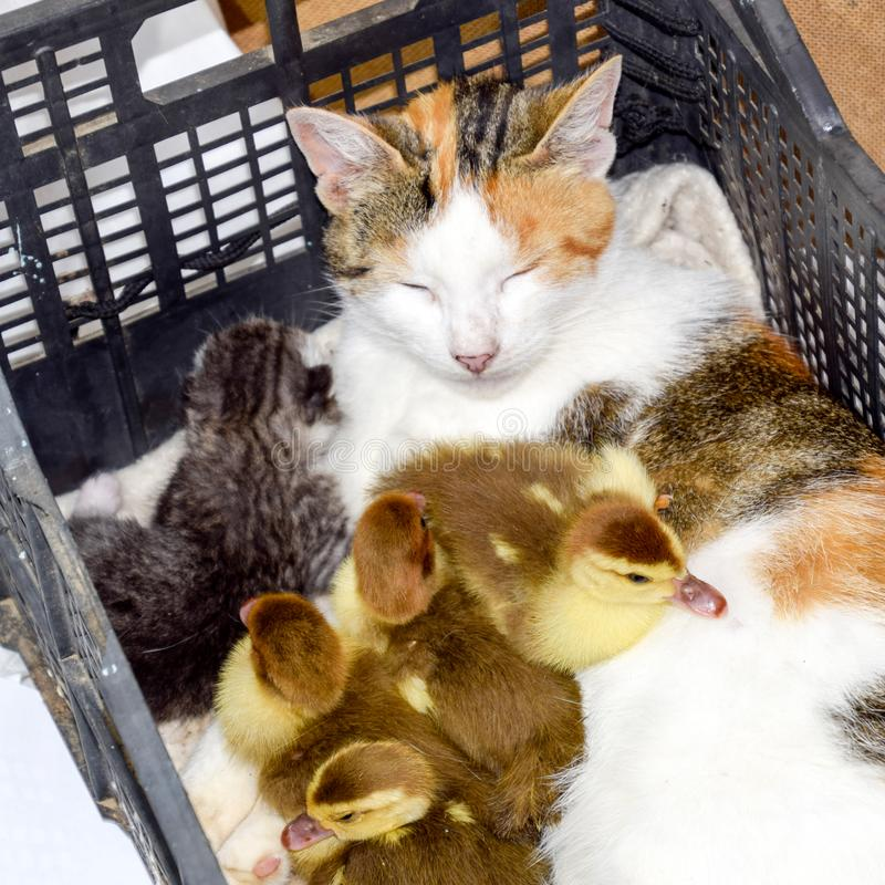Cat in a basket with kitten and receiving musk duck ducklings. Cat foster mother for the ducklings royalty free stock photography