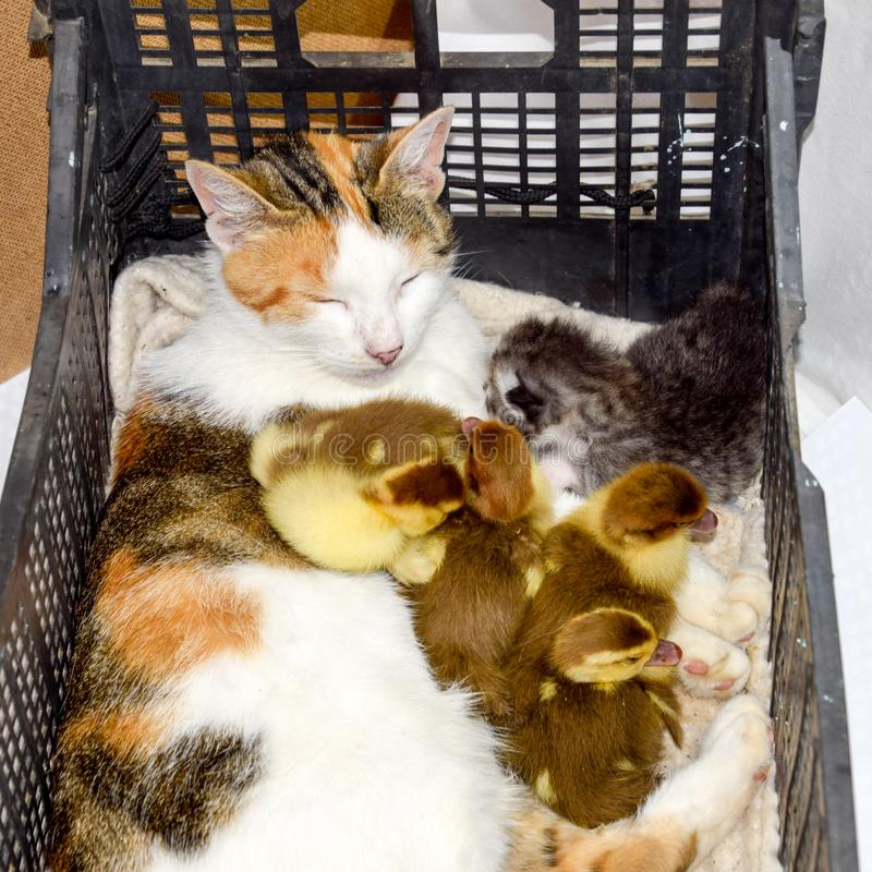 Cat foster mother for the ducklings stock image