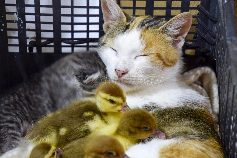 Cat foster mother for the ducklings stock photos