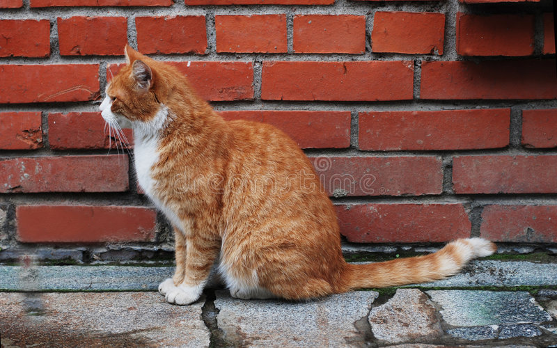 Download Cat In Front Of The Brick Wall Royalty Free Stock Images - Image: 9063579