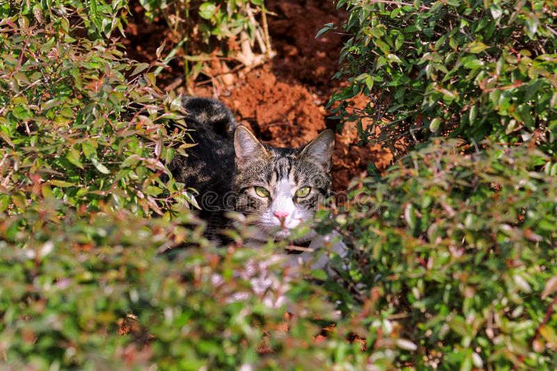 Cat in garden / Hidden tiger cat in house garden, behind green leaves / Street kitty is also hidden in grass and looking. royalty free stock images